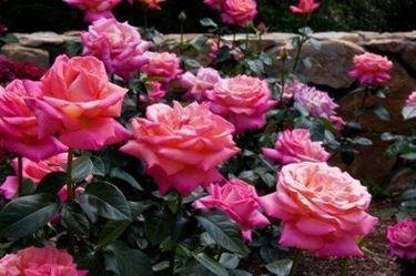 concimazione rose