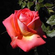 Fiore rosa color pesca