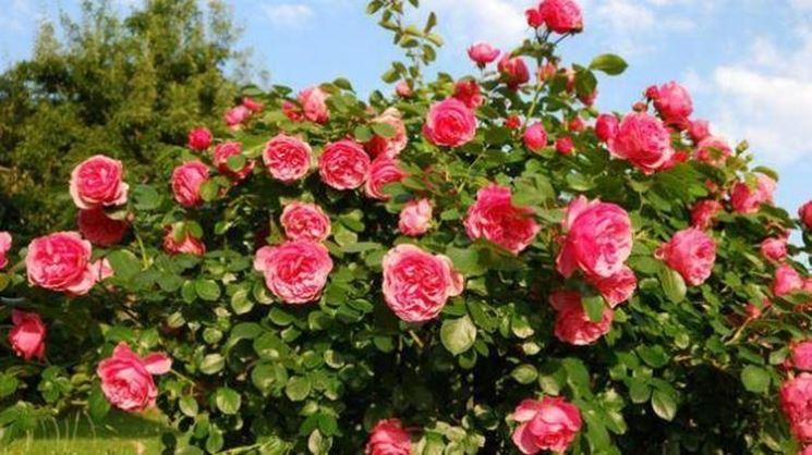 Folto roseto di color rosa