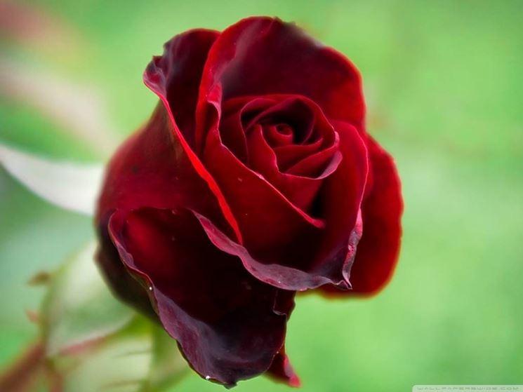 Bellissimo esemplare di rosa rossa.