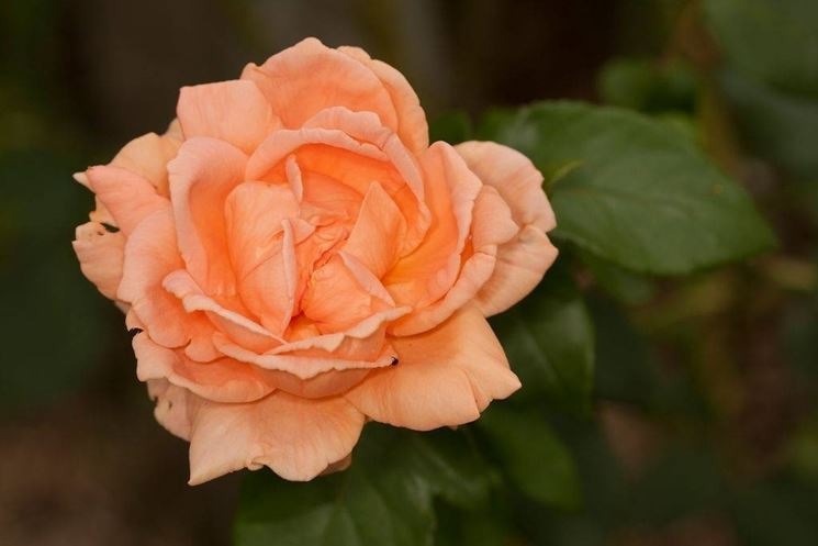 rosa primo piano