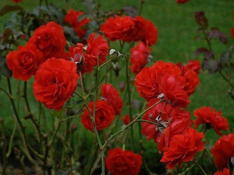 rose particolari