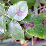 foglie di rosa malate