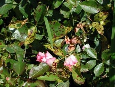 rosa colpita