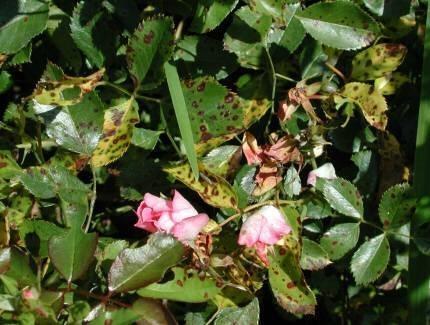 Malattie della rosa rose for Malattie delle rose