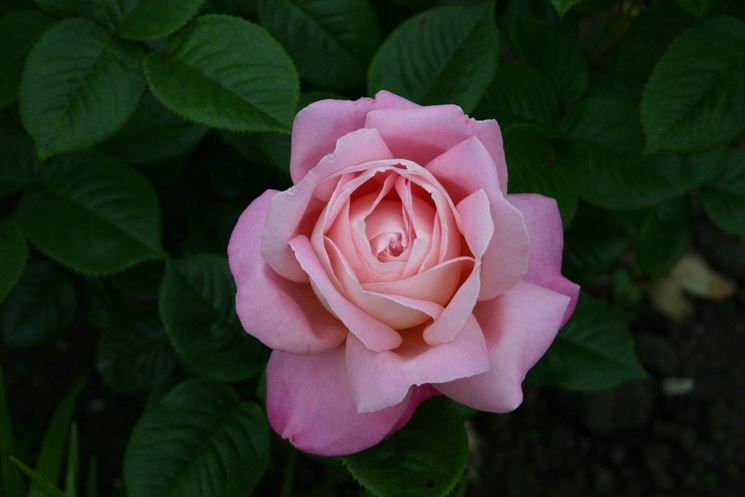 primo piano rosa