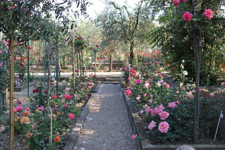 Piante di rose - Rose - Piante di rose caratteristiche
