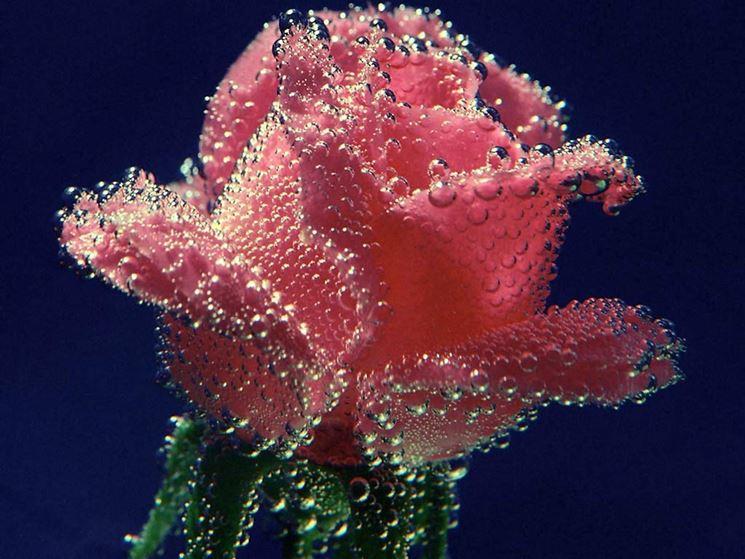 rosa subacquea