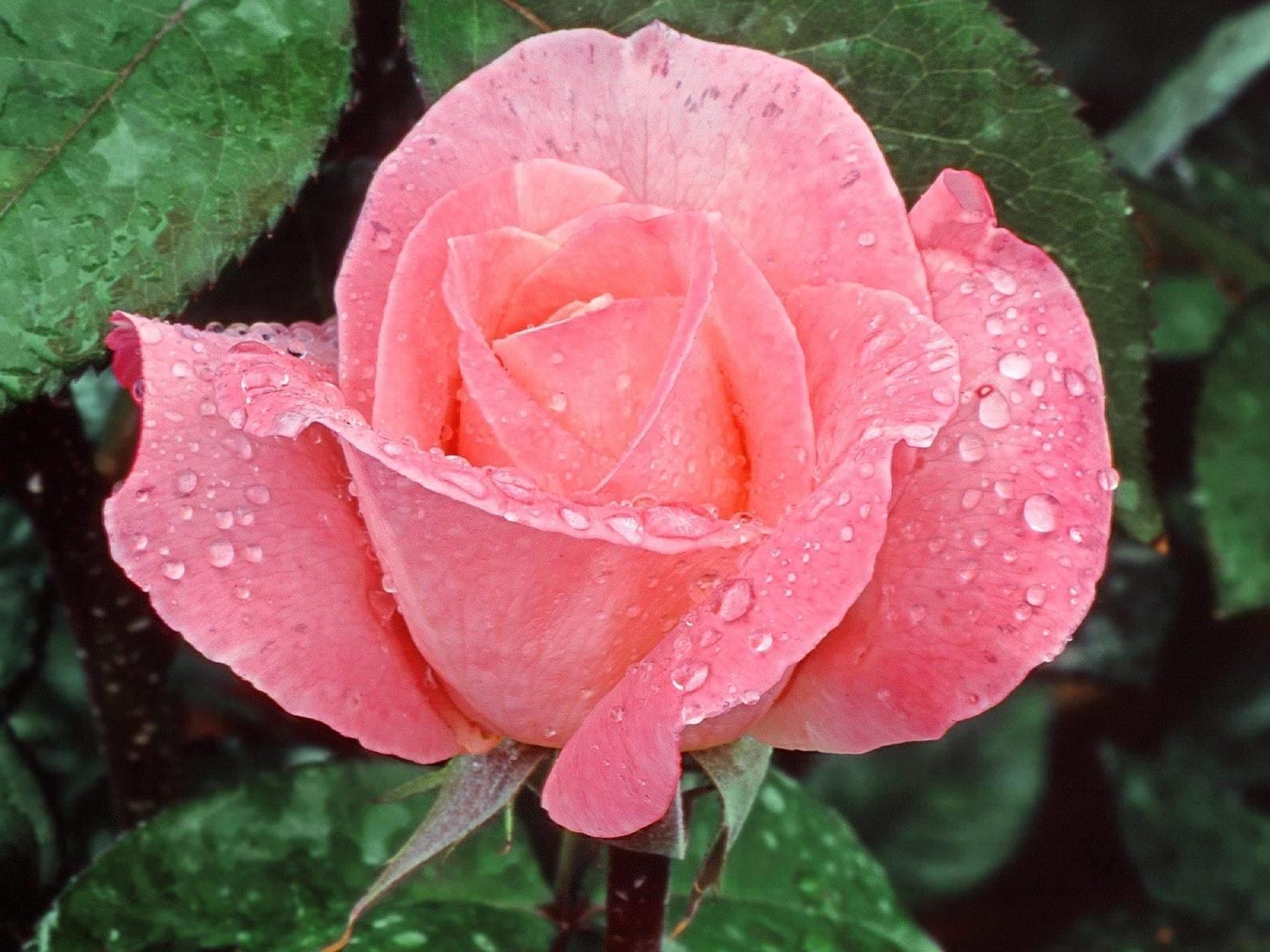 Propagazione rose rose - Rose coltivazione in giardino ...