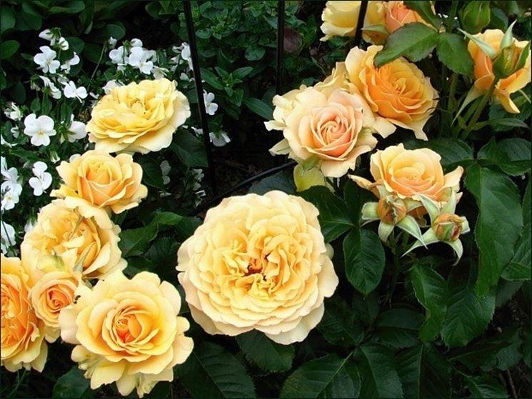 Quando potare le rose rose potare le rose for Potare le rose