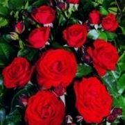 varietà di rose