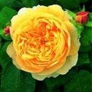 rose bianche significato