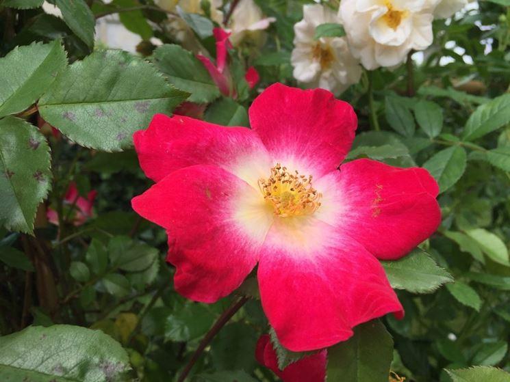 La Rosa cocktail in giardino