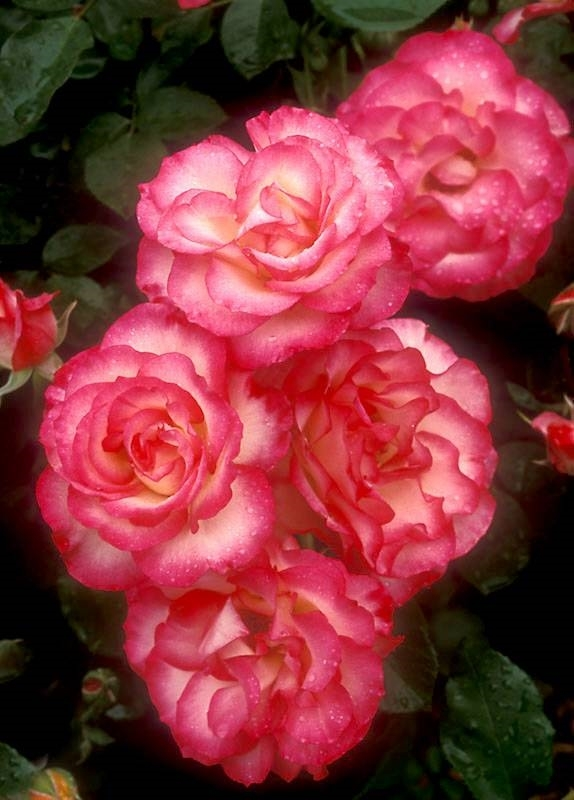 Rosa floribunda rose for Piante che amano il sole