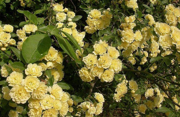 La rosa gialla