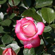 rosa osiria