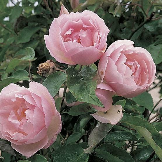 Rosa tea - Rose