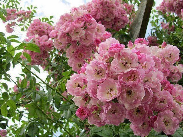 Rose a cespuglio rose - Rose coltivazione in giardino ...