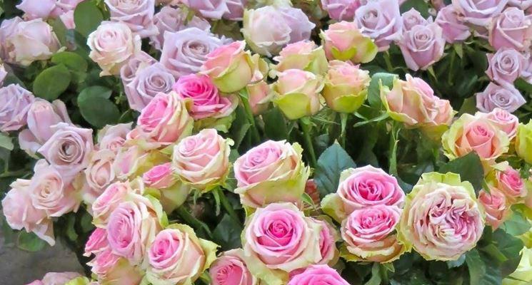 Rose antiche rose - Rose coltivazione in giardino ...