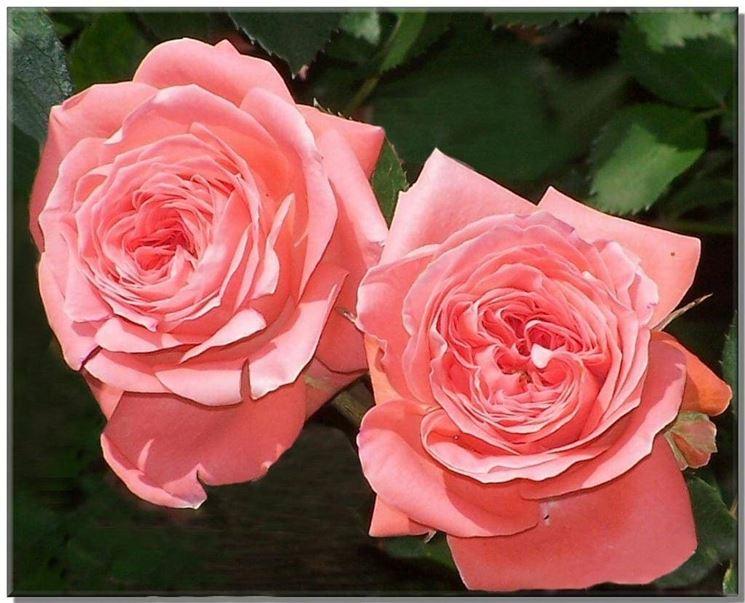 roseantiche2