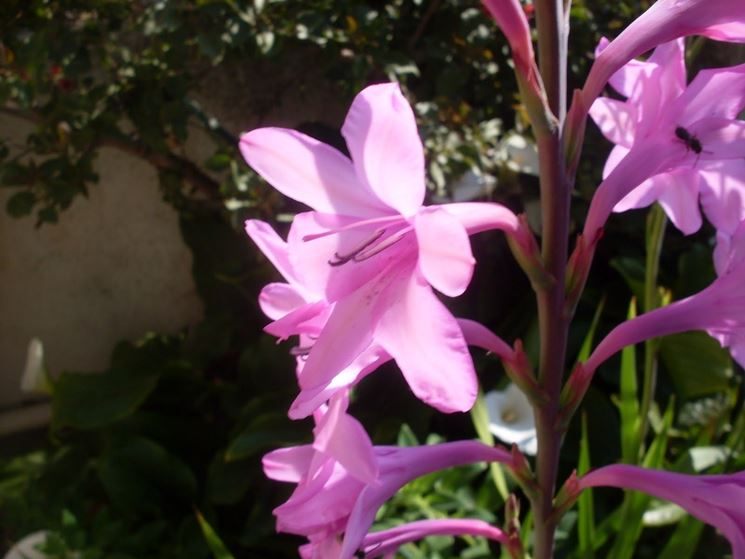 Varietà a petali singoli di tuberosa rosa