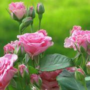 Siepe con rose a fiori rosa