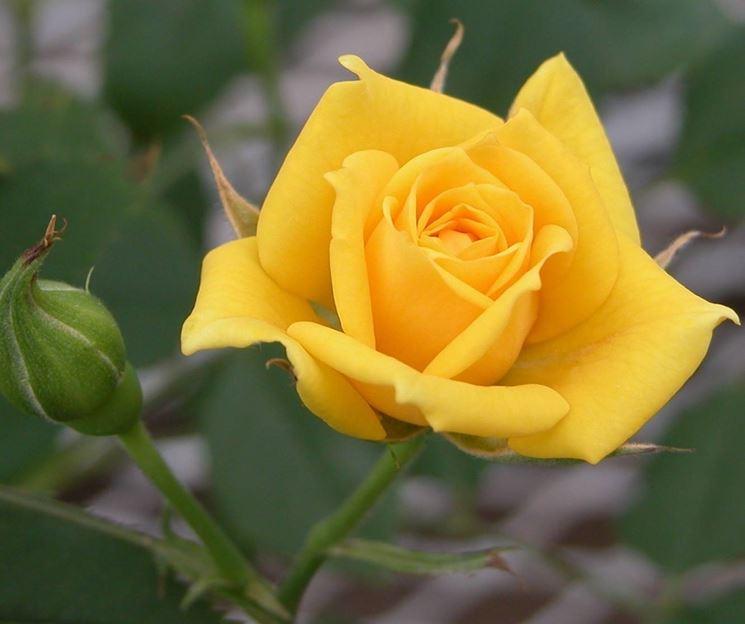 Primo piano di rosa gialla