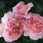 rosa immagini