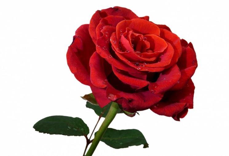 Esempio di rosa