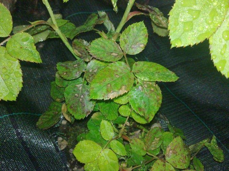 Malattie fungine della rosa
