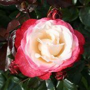 Rose moderne