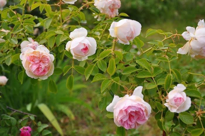 Speciale moda donna primavera estate rose tappezzanti for Rose tappezzanti