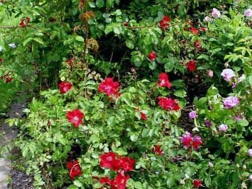 Rose tappezzanti rose - Piante tappezzanti ...