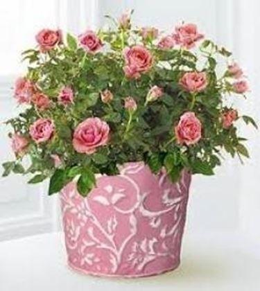Roselline - Rose