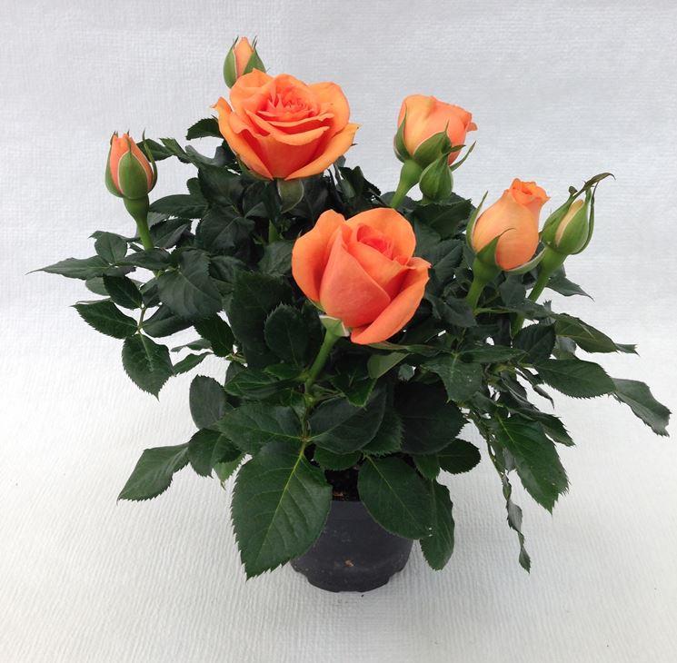 Roselline in vaso