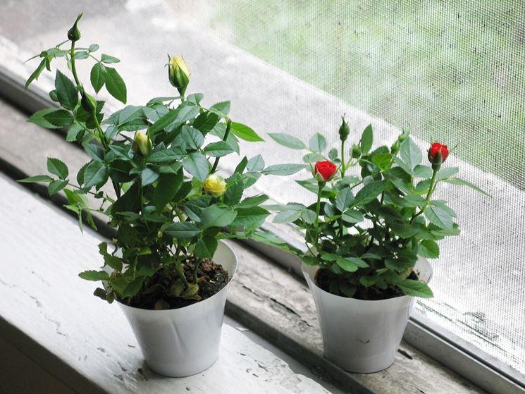 Vasi di roselline