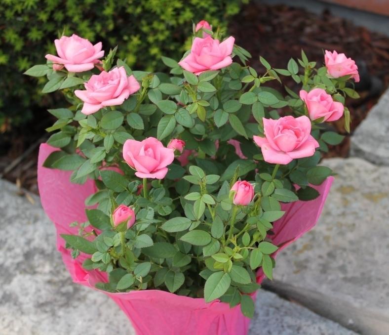 Roselline rose for Riproduzione rose