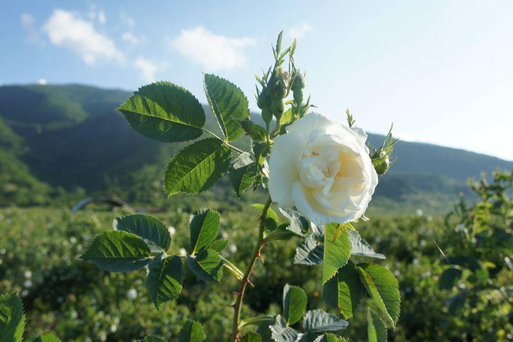 Rosa alba