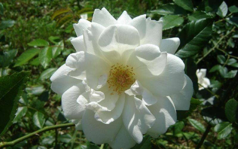 Tipi di rose rose tipi di rose giardino - Tipi di giardino ...