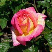 Esemplare di rosa Asagumo
