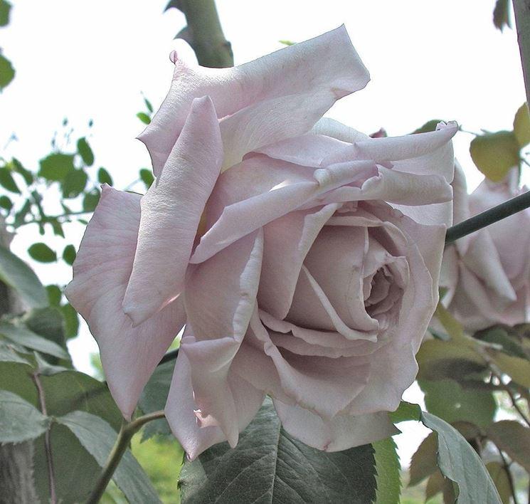 Esemplare di Rosa Serenissima