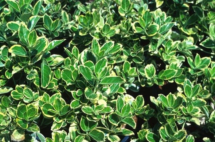 Arbusti da siepe siepi caratteristiche degli arbusti da siepe - Arbusti da giardino sempreverdi ...