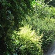arbusti per siepi