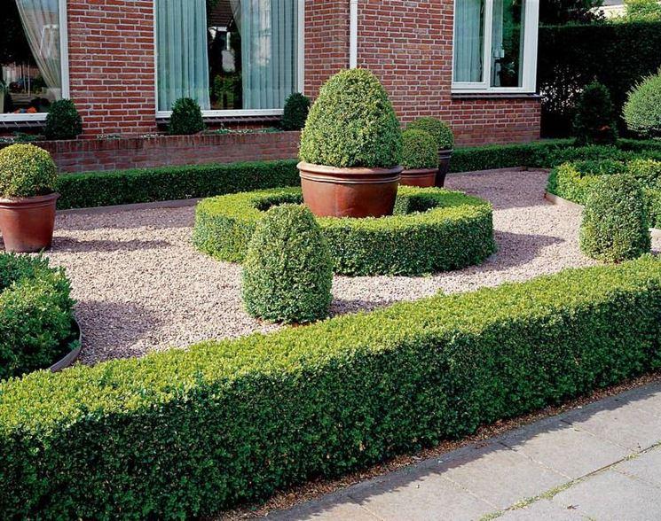 Bosso siepe siepi caratteristiche del bosso - Siepi ornamentali da giardino ...