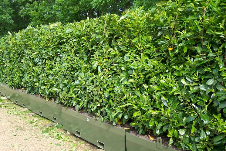 Costo siepe giardino siepi costo siepe for Siepe di alloro