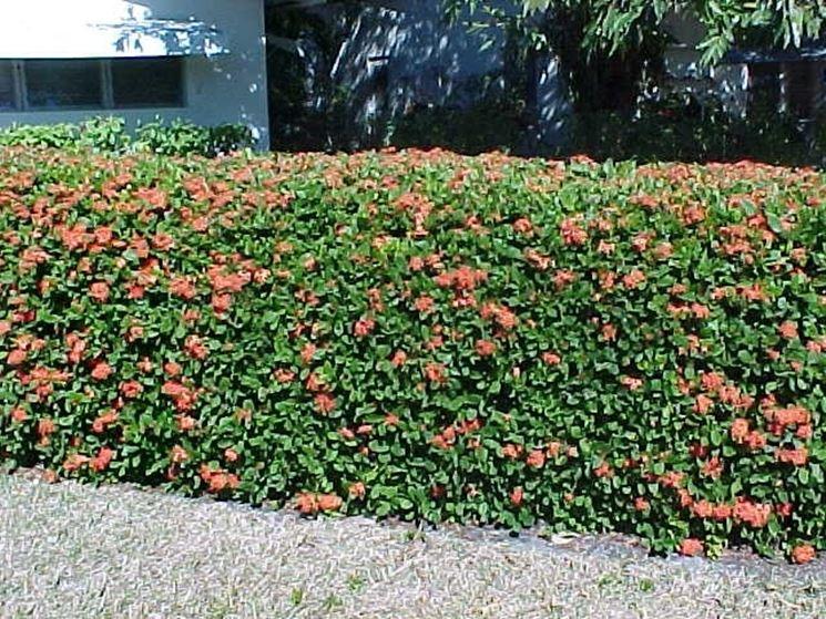 Costo siepe giardino siepi costo siepe - Siepi da giardino fiorite ...