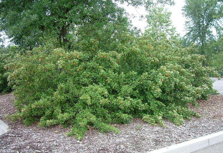 Cotoneaster lacteus giardino