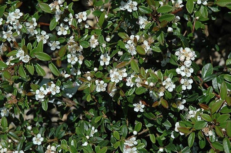 Cotoneaster fiore