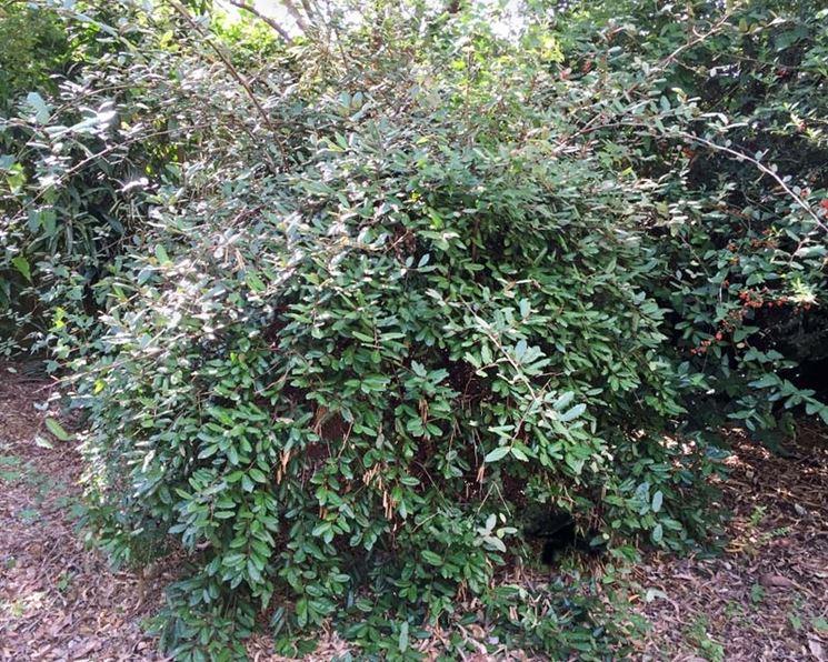 Arbusto eleagno