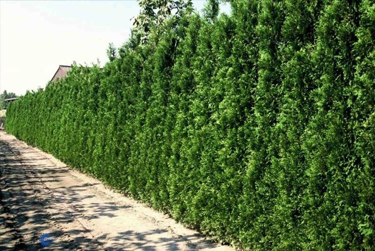 Siepe di thuja occidentalis